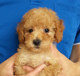 toy_poodle_001