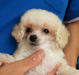 toy_poodle_002